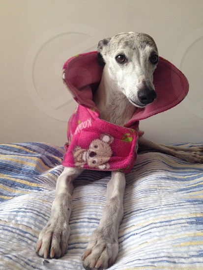 gray dog with pink clothes on bed photo