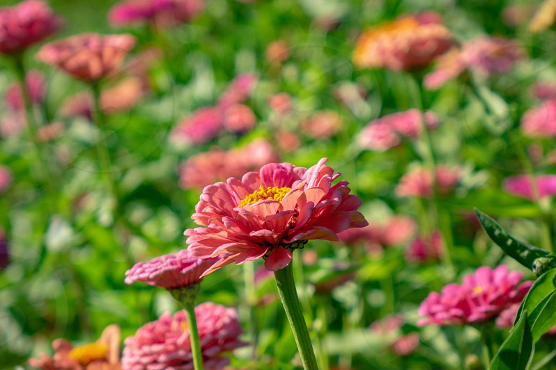 Blooming flowers zinnia in the summer garden on a sunny day. Floral layout photo
