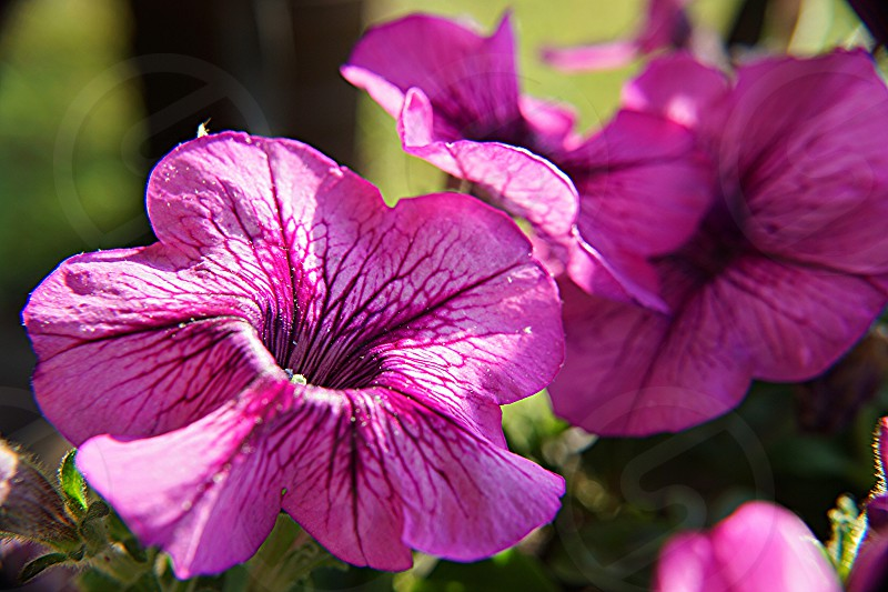 purple hibiscus flowers with green stem photo