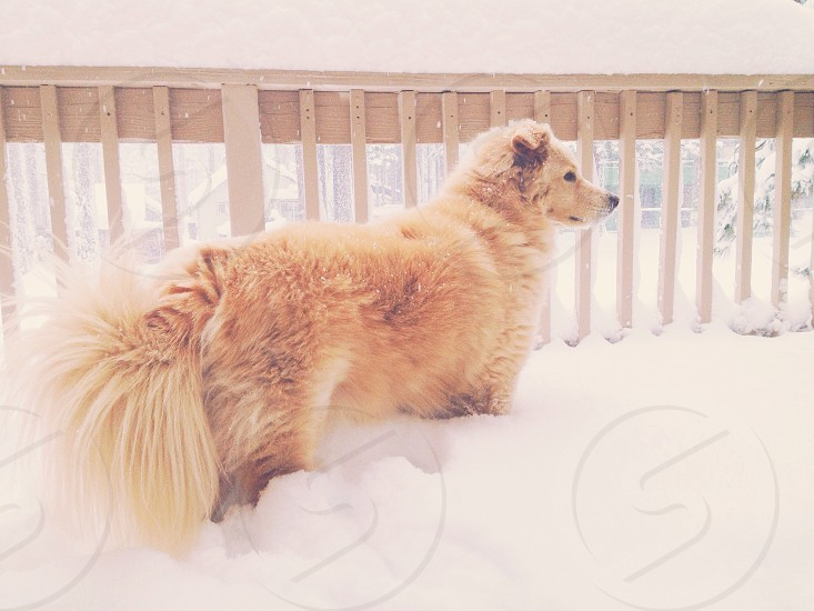 brown long haired medium sized dog walking on snow photo