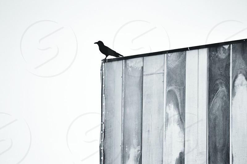 black bird standing on a billboard photo