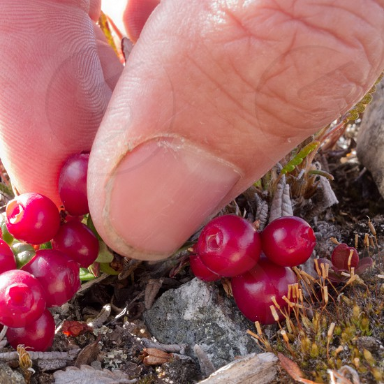 Picking ripe red low-bush cranberries lingonberry or partridgeberry Vaccinium vitis-idaea with bare fingers photo