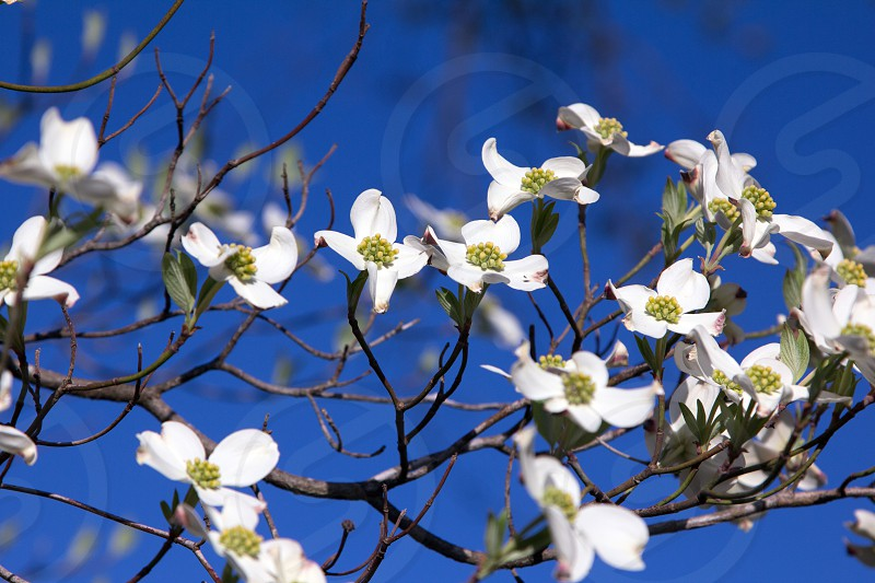 blue sky spring colorful flowers blooms dogwood tree photo