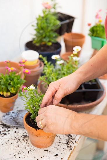 planting flowers into pots photo