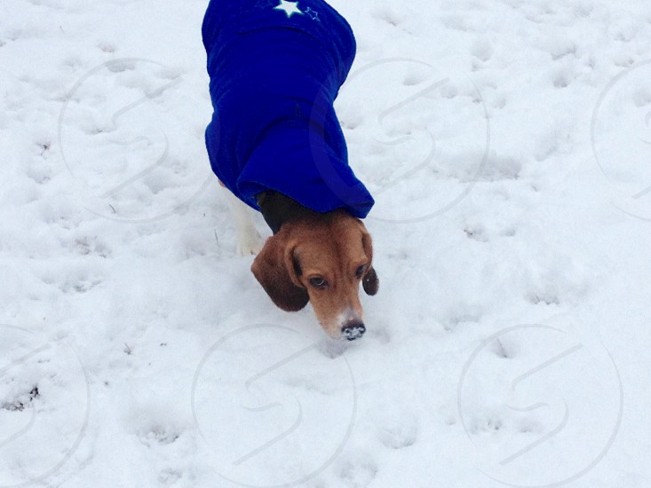 adult short-coated tan dog wearing blue jacket walking on snow-covered ground photo