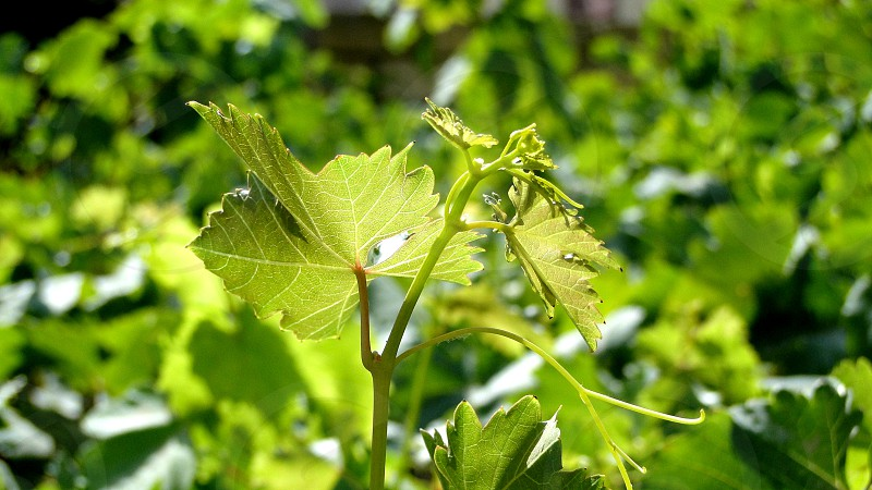 From what begins white red and other colorful wines? With grapes. And grapes from grape leaves.  The photo shows the unique forms of grape leaves under the rays of the sun in the vineyard.                             photo