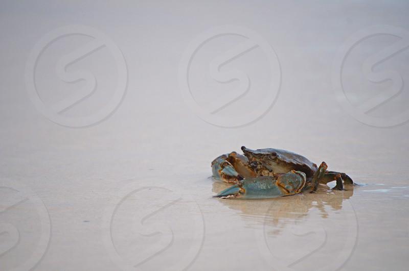Stranded crab Hawaii photo