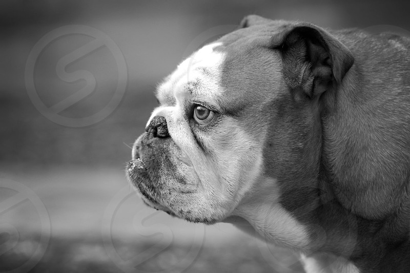 Profile of Gertruid a beautiful English Bulldog photo