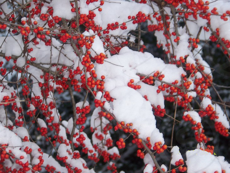 Wild berry bush covered in snow in my yard in Huntington AR. photo