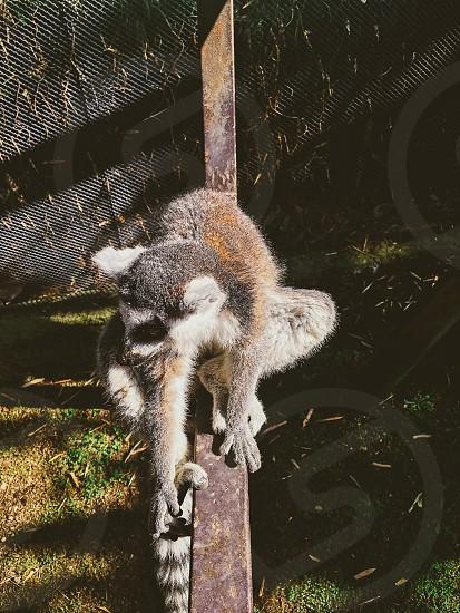 Guadalajara Zoologico with a lemur  located in Guadalajara  Mexico  photo