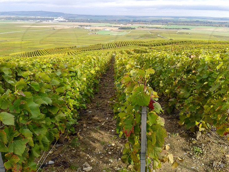 typical landscape in the champagne area in France where the world famous sparkling wine is produced. photo