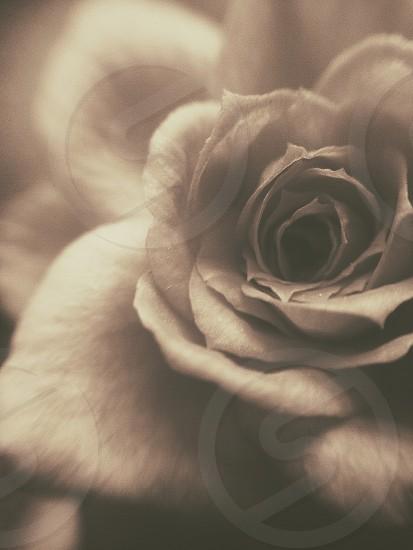 Macro capture of a mini rose-sepia photo