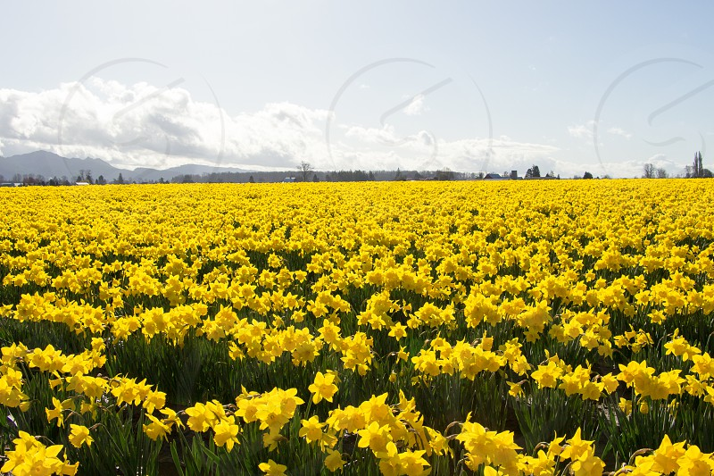 Daffodils as far as the eye can see in this field. photo
