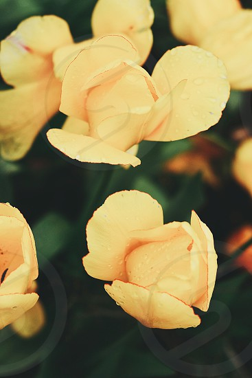 floral flora flowers orange peach tulips water droplets photo