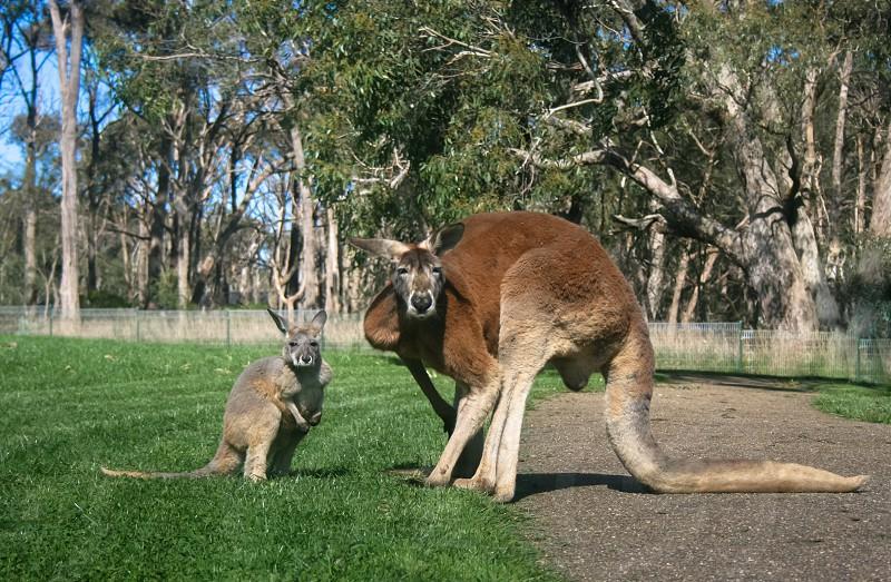 Kangaroo pair photo