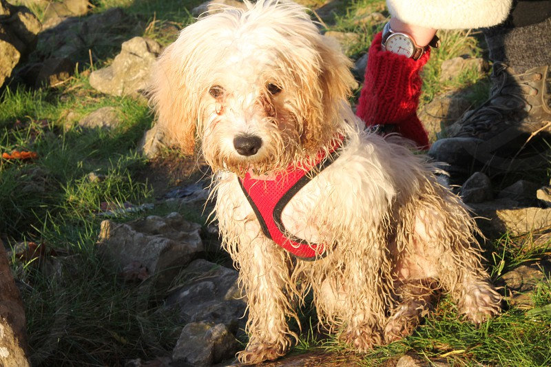 Cavachon Puppy on her first big walk I think I may need a bath! photo