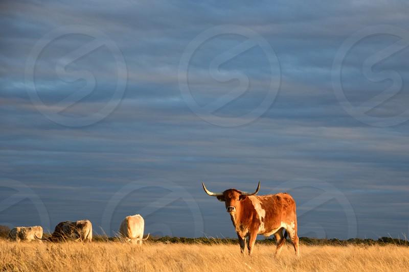 Longhorn grazing in Texas field. photo