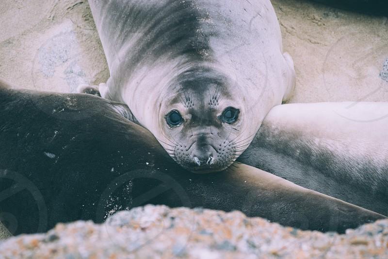 gray seal photo