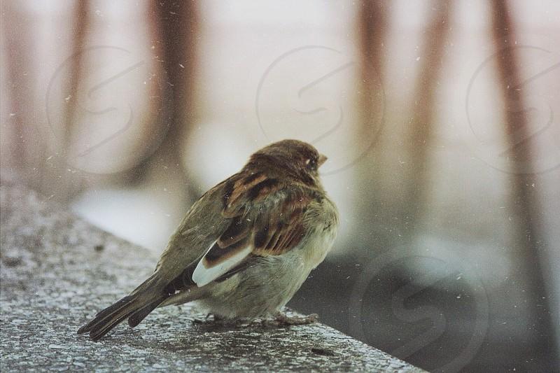 gray brown and black short beaked small bird photo