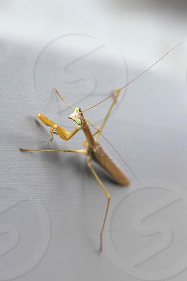 brown praying mantis photo