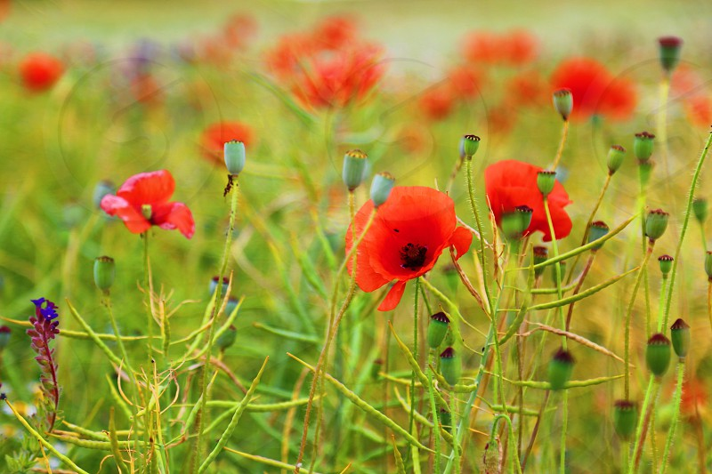 Poppies poppy field red flowers blooming flora botany photo