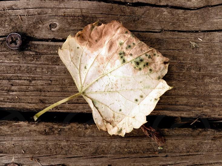 Fallen leaf on a wooden bridge.  photo
