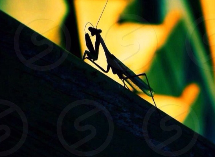 Preying Mantis Nature Insects photo