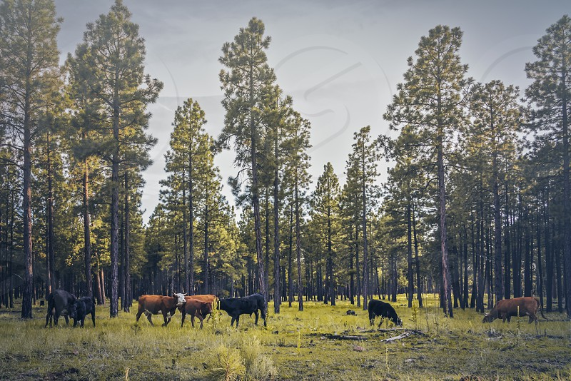 Cow grazing on the Arizona green grass photo