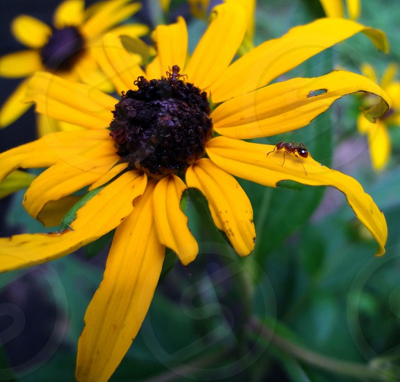 Ants on a yellow black-eyed Susan flower  photo