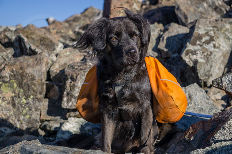 Black Dog atop Torreys Peak in Colorado. photo