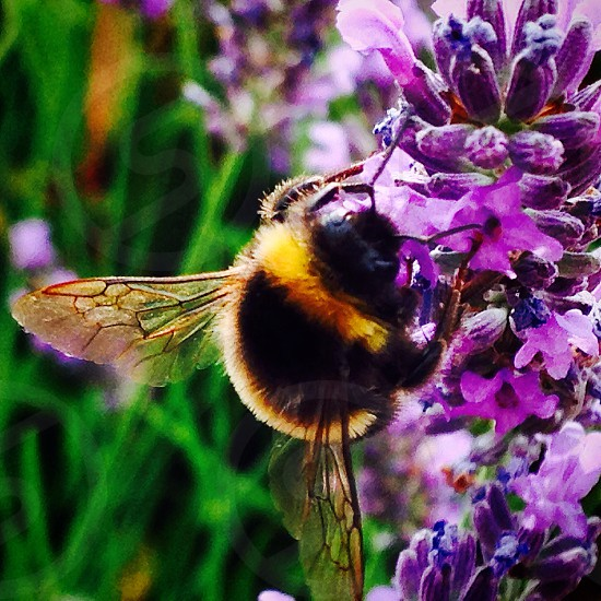 Bumble bee on lavender photo