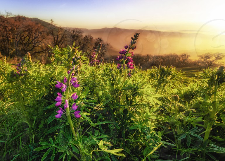 Landscape image of beautiful lupine blooms at sunset. Northern California USA. photo