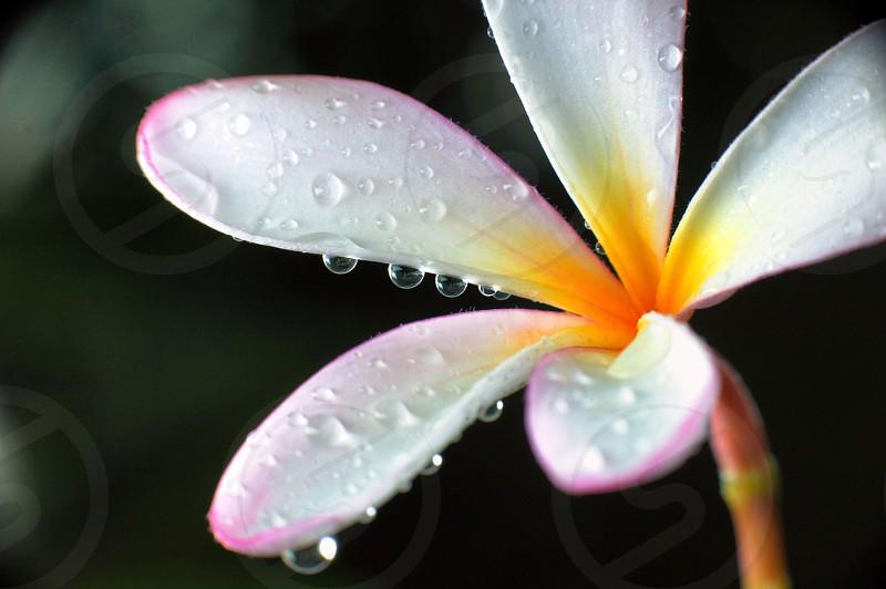 Macro plumeria rain drops  photo
