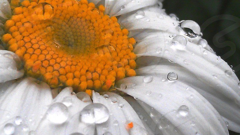 A macro of water droplets on a flower.  photo