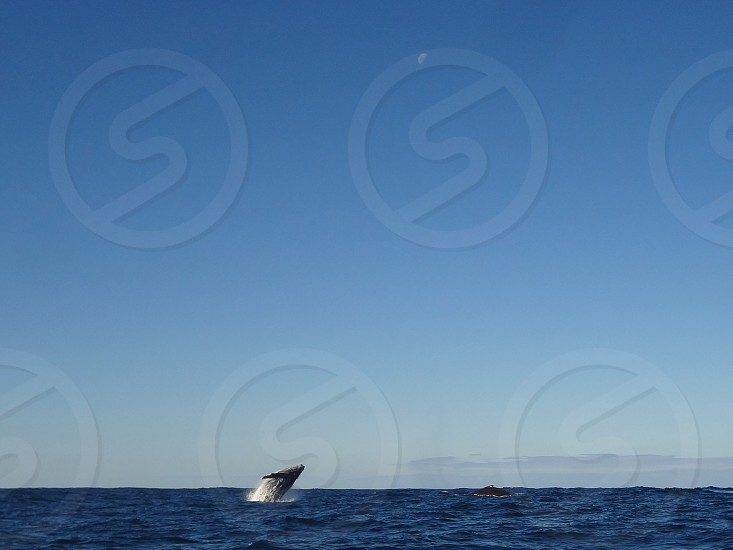 Wide shot of a whale jumping out of the water with another whale surfacing on the right. photo