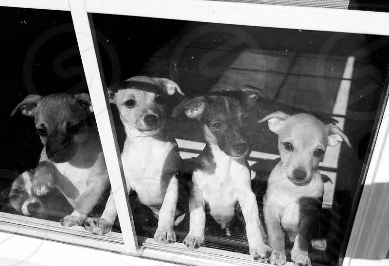 puppies puppies looking through a glass door photo