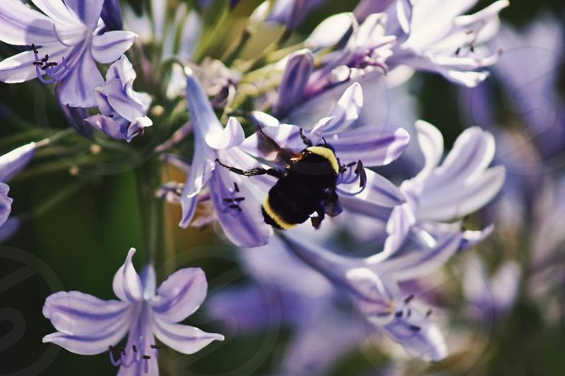 Bee bumblebee flowers purple spring photo