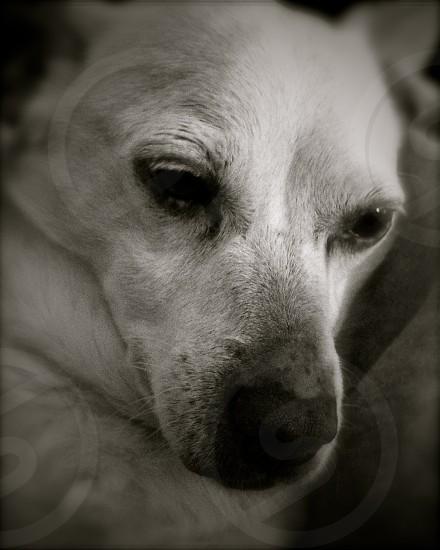 white chihuahua photo