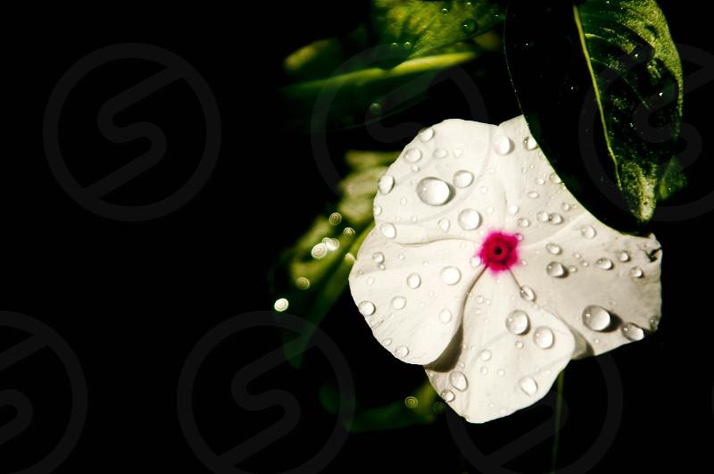 wet white flower photo