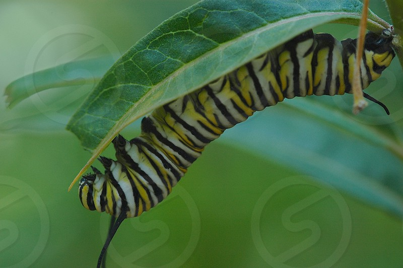 Monarch butterfly caterpillar milkweed hanging on photo