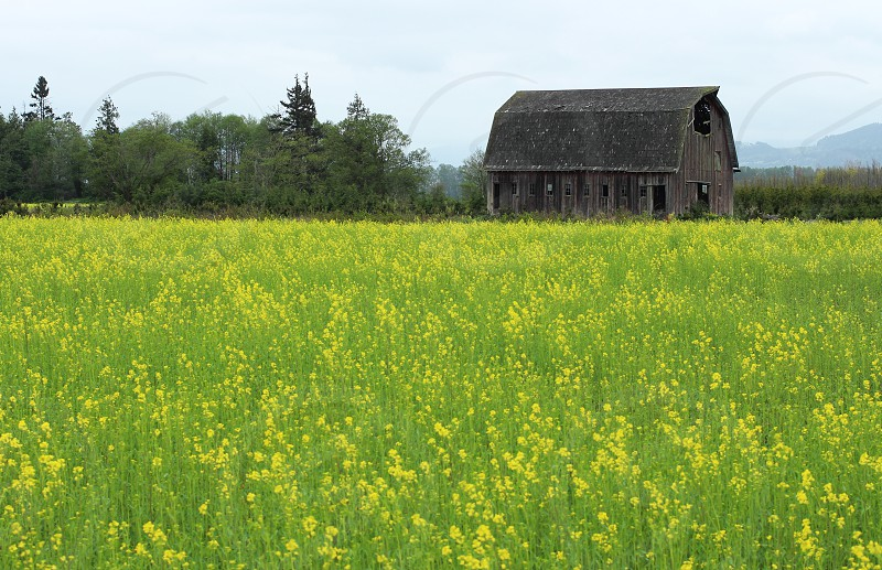 Field wildflowers yellow barn colorful spring rotted barn decaying barn flowers blossoms photo