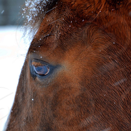 A closeup shot of a beautiful brown horse in rural Vermont photo