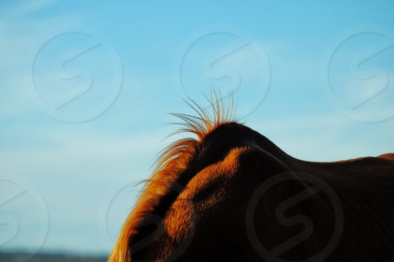 Minimal horse mane sticking up at withers. photo