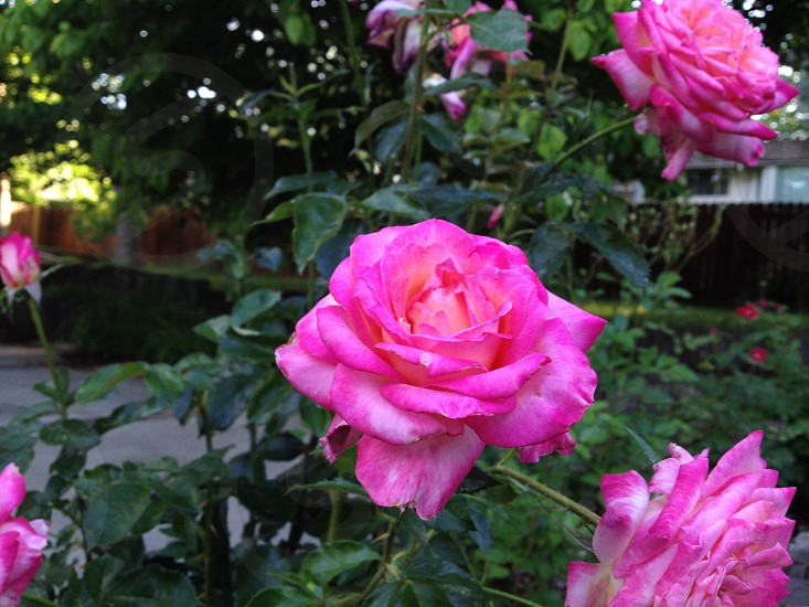 Pink rose in Washington State.  photo