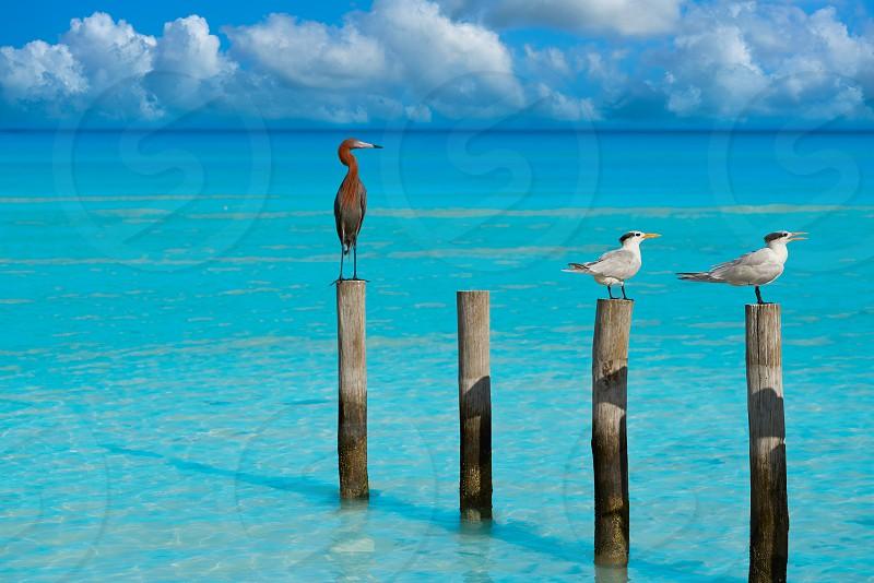 Royal Caspian terns and Reddish Egret heron birds in Caribbean sea photo