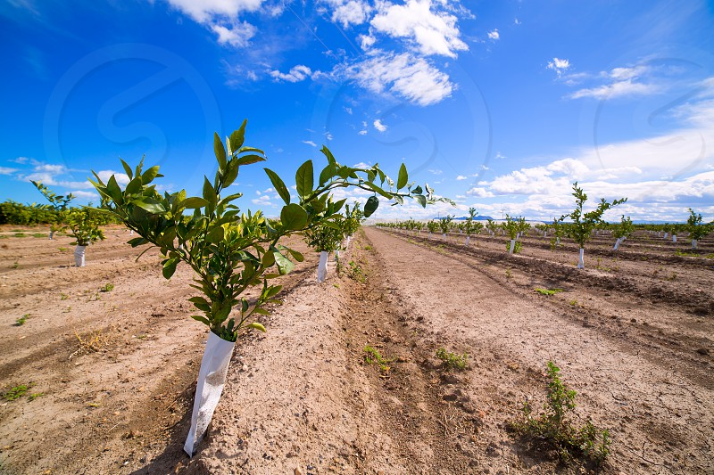 Orange tree sprouts with trunk protected against rodents in Mediterranean Spain photo