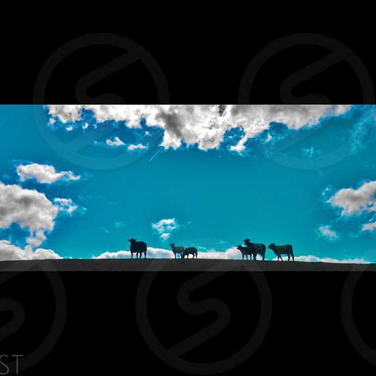 Silhouette of Cattle against a blue sky. Darlington United Kingdom.   photo