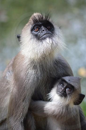 Mother and baby monkey Cinnamon Lodge Habarana Sri Lanka photo