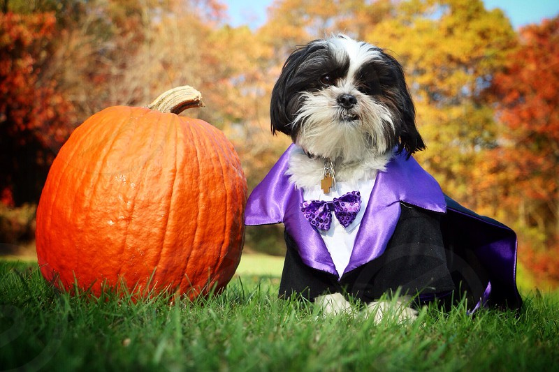 black white shih tzu dog wearing a purple and black satin tuxedo by a orange pumpkin in the grass photo