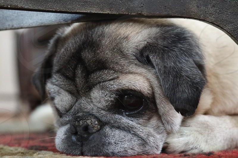 Lazy Pug Life photo